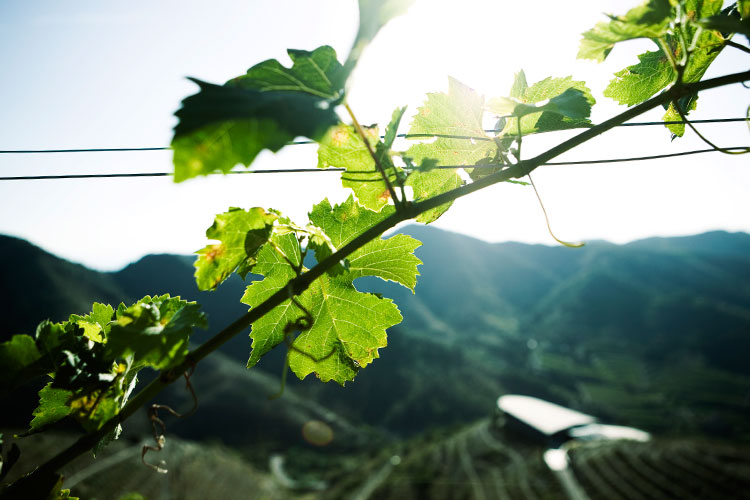 enologia/ferrer_bobet_wine-growing_9.jpg