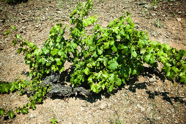 viticultura/ferrer_bobet_wine-growing_0.jpg